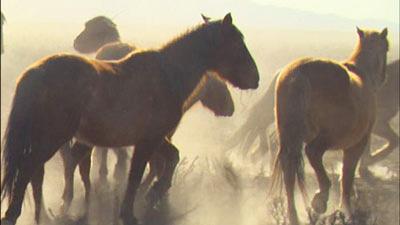 wild horses round up