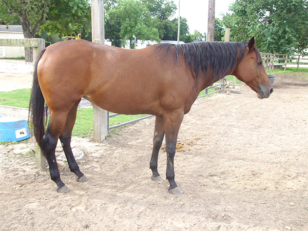 Ginger - adoptable Quarter Horse