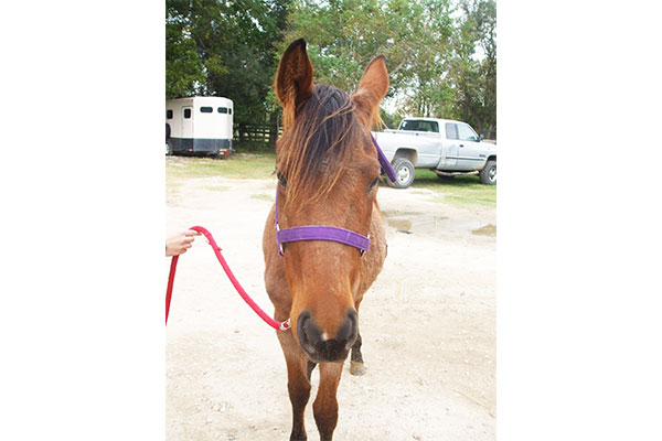 Pretty red roan filly available for adoption.