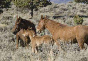 wild_horse_roundup