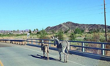 burros on highway 95 in arizona