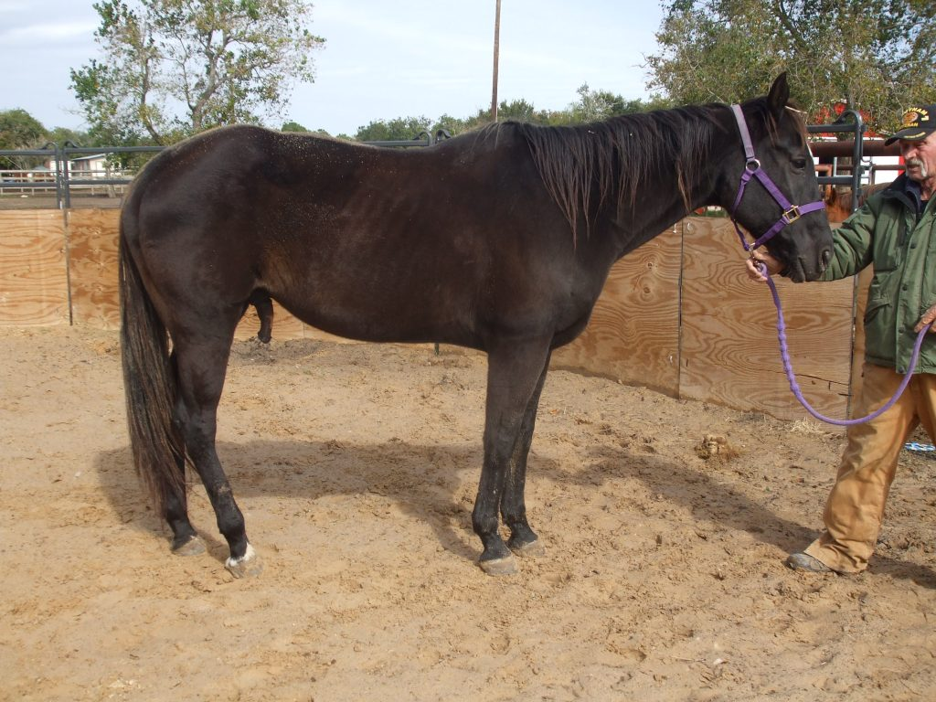 adoptable quarter horse