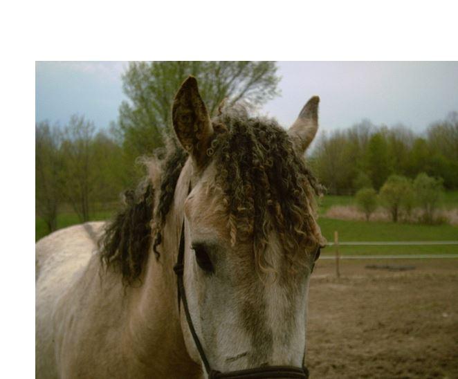 Bashkir Curly Horse