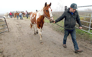 Justin Doherty, with Habitat for Horses, leads one of 27 horses seized Wednesday in Jamaica Beach to a trailer to be taken to Habitat for Horses in Hitchcock.