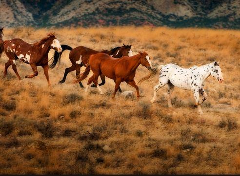 wild horses in WY