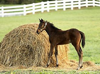 foal eating hay