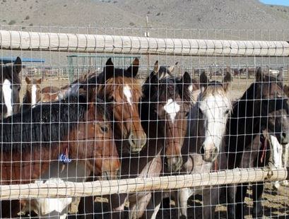 Mustangs in a BLM holding pen