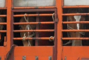 Horses being transported for slaughter