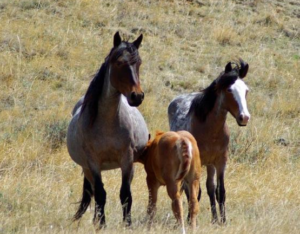 wild horses at theordore roosevelt national park
