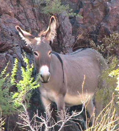 wild burro of Arizona Mojave Desert