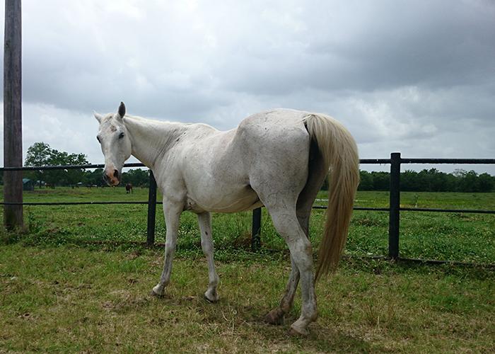 lariat adoptable horse
