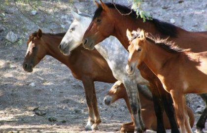 salt_river_horses_2