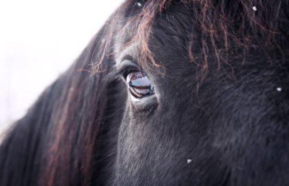 animal-eye-horse-poney