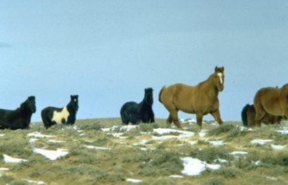 wild-horses-wyoming