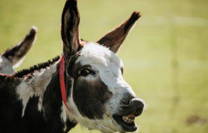 flehmen-donkey2